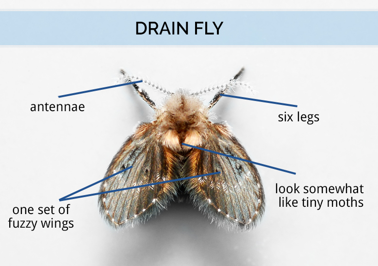 Tips And Tricks To Rid Drain Flies Craft O Maniac